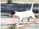 Собаки, щенята Джек Рассел тер'єр, ціна 8500 Грн., Фото