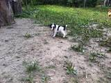 Собаки, щенята Жорсткошерстий фокстер'єр, ціна 500 Грн., Фото