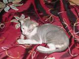 Кішки, кошенята Невідома порода, ціна 4000 Грн., Фото