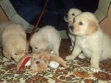 Собаки, щенята Золотистий ретрівер, ціна 100 Грн., Фото