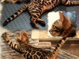 Кошки, котята Бенгальская, цена 10000 Грн., Фото