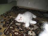 Кошки, котята Персидская, цена 300 Грн., Фото