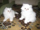 Кішки, кошенята Персидська, ціна 300 Грн., Фото