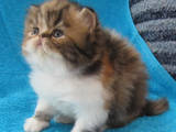 Кішки, кошенята Персидська, ціна 500 Грн., Фото