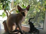 Кошки, котята Канадский сфинкс, цена 3000 Грн., Фото