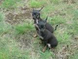 Собаки, щенята Російський гладкошерстий тойтерьер, ціна 3500 Грн., Фото