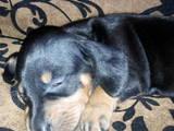 Собаки, щенки Гладкошерстная такса, цена 700 Грн., Фото