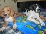 Собаки, щенята Англійський пойнтер, ціна 3000 Грн., Фото