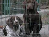 Собаки, щенки Немецкая гладкошерстная легавая, цена 4500 Грн., Фото