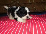 Собаки, щенки Кавалер-Кинг-Чарльз спаниель, цена 3000 Грн., Фото