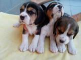 Собаки, щенята Бігль, ціна 5300 Грн., Фото