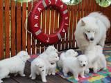 Собаки, щенки Самоед, цена 7000 Грн., Фото