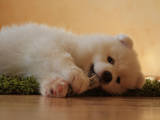 Собаки, щенята Самоїдом, ціна 7000 Грн., Фото