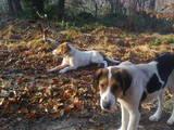 Собаки, щенята Російський хорт, ціна 1200 Грн., Фото