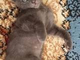 Кішки, кошенята Корніш-рекс, ціна 1000 Грн., Фото