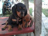 Собаки, щенки Жесткошерстная миниатюрная такса, цена 500 Грн., Фото