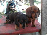 Собаки, щенята Жорсткошерста мініатюрна такса, ціна 500 Грн., Фото