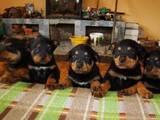 Собаки, щенята Ротвейлер, ціна 2650 Грн., Фото