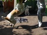 Собаки, щенки Среднеазиатская овчарка, цена 2000 Грн., Фото