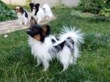Собаки, щенки Папильон, цена 18000 Грн., Фото