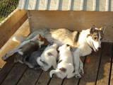 Собаки, щенки Восточно-Сибирская лайка, цена 600 Грн., Фото