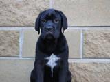 Собаки, щенята Кане Корсо, ціна 15000 Грн., Фото