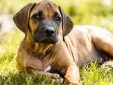 Собаки, щенки Родезийский риджбек, цена 1000 Грн., Фото