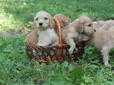 Собаки, щенки Английский коккер, цена 500 Грн., Фото