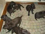 Собаки, щенята Німецька гладкошерста лягава, ціна 5000 Грн., Фото
