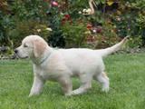 Собаки, щенята Золотистий ретрівер, ціна 6000 Грн., Фото