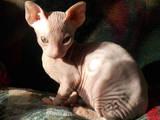 Кошки, котята Донской сфинкс, цена 1300 Грн., Фото