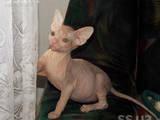 Кішки, кошенята Донський сфінкс, ціна 1300 Грн., Фото