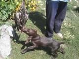 Собаки, щенята Німецька гладкошерста лягава, ціна 200 Грн., Фото
