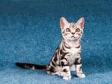 Кошки, котята Американская короткошерстная, цена 10000 Грн., Фото