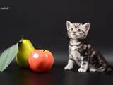 Кішки, кошенята Американська короткошерста, ціна 10000 Грн., Фото