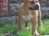 Собаки, щенята Мальоркскій бульдог (Ка Де Бо), ціна 7500 Грн., Фото