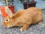 Грызуны Кролики, цена 10 Грн., Фото