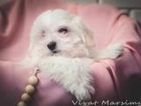 Собаки, щенки Мальтийская болонка, цена 12500 Грн., Фото