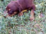 Собаки, щенки Доберман, цена 1500 Грн., Фото