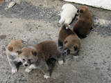 Собаки, щенята Акіта-іну, ціна 17500 Грн., Фото