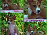 Собаки, щенята Басенджі, ціна 16000 Грн., Фото