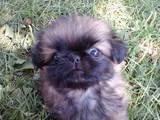 Собаки, щенята Пекінес, ціна 800 Грн., Фото