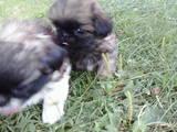 Собаки, щенки Пекинес, цена 800 Грн., Фото