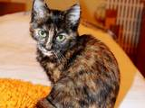Кошки, котята Европейская короткошерстная, цена 2 Грн., Фото