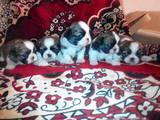 Собаки, щенята Ши-тцу, ціна 3000 Грн., Фото