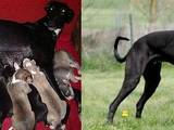 Собаки, щенята Грейхаунд, ціна 1500 Грн., Фото