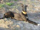 Собаки, щенки Грейхаунд, цена 1500 Грн., Фото