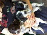 Собаки, щенки Русский спаниель, цена 1700 Грн., Фото