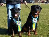 Собаки, щенята Ротвейлер, ціна 8500 Грн., Фото