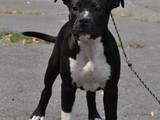 Собаки, щенята Американський стаффордширський тер'єр, ціна 15000 Грн., Фото